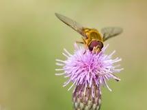 A bee on flower - closeup Stock Photos