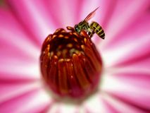 Bee and Flower Closeup. Closeup of a bee against pink petals Royalty Free Stock Photo