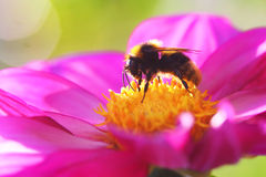Bee on flower closeup Stock Image