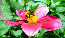 Bee on flower. Bee collecting honey/nectar from flower stock image