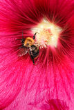 Bee in a flower Stock Photos