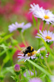 Bee on flower collecting nectar or honey. Bee on chamomile collecting nectar or honey Royalty Free Stock Photography