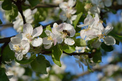 Bee on the flower. Bee collecting nectar and pollen on the apple-tree flower Stock Photo
