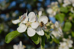 Bee on the flower. Bee collecting nectar and pollen on the apple-tree flower Stock Photography