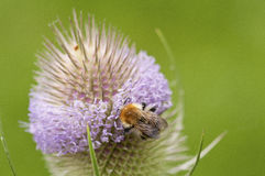Bee on flower. Bee collecting nectar on thistle Royalty Free Stock Images