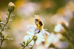 Bee on a flower. Collecting pollen Royalty Free Stock Images