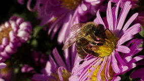 Bee On A Flower stock video footage