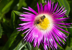 Bee and flower. Stock Images