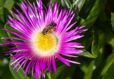 Bee and flower. Royalty Free Stock Photography