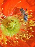 Bee on a Flower. Bee collecting pollen from a beautiful flower Stock Images