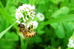 Bee Flower Collecting Pollen Green. Closeup shot of bee at work on white clover flower collecting pollen royalty free stock photo
