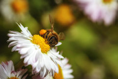 Bee on a flower collecting pollen Royalty Free Stock Photos