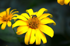 Bee on a flower collecting pollen royalty free stock photo