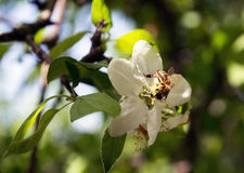 Bee on a flower collects honey apple, a flower pollinating Royalty Free Stock Photography