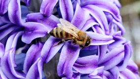 Bee on flower. Bee collects honey on a blue flower stock footage