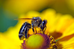 Bee on flower collects nectar Stock Image