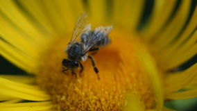Bee on a flower. The bee collects the nectar on the flower of elecampane on a hot July sunny morning Royalty Free Stock Photos