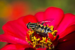 Bee on a flower. The bee on a flower collects nectar not to starve in the winter stock photo