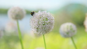 Bee on a flower. Bee collects nectar on a flower of onions, and then flies away