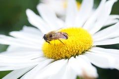 Bee on flower Stock Photos
