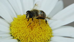 Bee On A Flower. Bee collects pollen on a flower stock video