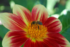 Bee on a flower. A bee collects pollen on a bright flower Royalty Free Stock Photography