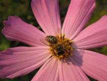 Bee on a flower. A bee collects pollen from a pink flower Stock Photos