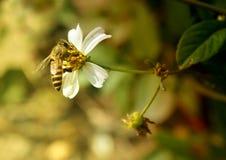 Bee in flower core Stock Photo