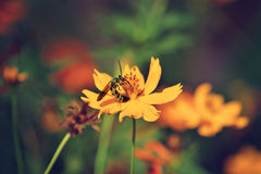 Bee on flower of coreopsis. Honey bee on yellow flower collecting pollen s in the Arboretum and Botanic gardens in Houston, Texas Stock Image