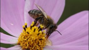 Bee on flower of cosmos Stock Image