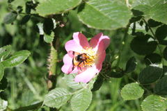 Bee on a Flower. A bee on a flower in the countryside. Taken in the East Midlands countryside Stock Photo