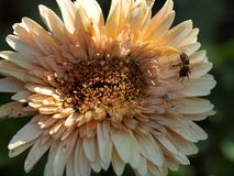 Bee on Flower, Dallas Arboretum. Bee buzzing around Daisy at Dallas Arboretum stock images