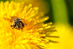 Bee in a flower Stock Photography