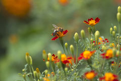 A bee on flower on disharp natural background Royalty Free Stock Photography