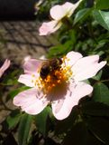 Bee and flower. Bee on dogrose royalty free stock photography
