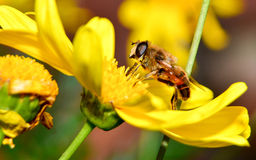 Bee on flower Royalty Free Stock Image
