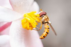 Marmalade hoverfly on a flower eating pollen royalty free stock photo