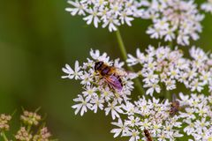 Bee relaxing on a flower royalty free stock photos