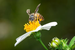 Bee and Flower Royalty Free Stock Images