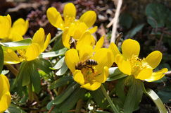 Bee on a flower Eranthis. South Bohemia, Czech Republic Stock Image