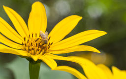 A bee on a flower Royalty Free Stock Photography