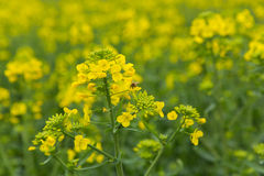 Bee flower field Royalty Free Stock Photography