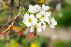 Bee on the flower. Flowering apple tree. A bee is flying near flowers royalty free stock photography