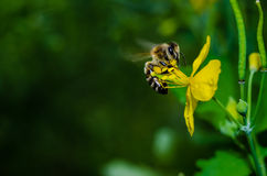 Bee on flower. A bee on flowers collecting the nectar stock photography