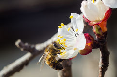 Bee on flower. A bee on flowers collecting the nectar stock photo