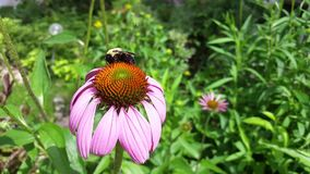 Bee and flower stock video footage