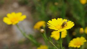 Bee flower stock video footage