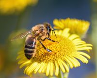 Bee, Flower, Forage, Insect, Macro Royalty Free Stock Photos