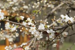 Bee on a flower of a fruit tree. Bee on fruit tree flower with white petals, bloom, bee Stock Images