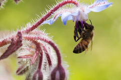 Bee with flower. Bee is gathering pollen from a blue flower Stock Photography
